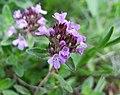 百里香屬 Thymus pulcherrimus -波蘭華沙 Powsin PAN Botanical Garden, Warsaw- (36396103562).jpg
