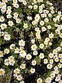 磯に咲く花 - panoramio.jpg