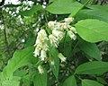 美國省沽油 Staphylea trifolia -比利時 Ghent University Botanical Garden, Belgium- (9237449091).jpg