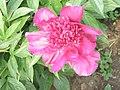 芍藥-紅光四射 Paeonia lactiflora 'Radiant Red' -揚州瘦西湖 Yangzhou, China- (12403896973).jpg