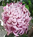 菊花-紫龍臥雪 Chrysanthemum morifolium 'Purple Dragon Lying on Snow' -香港圓玄學院 Hong Kong Yuen Yuen Institute- (12049599663).jpg