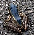 藍色斯文豪氏赤蛙2.jpg