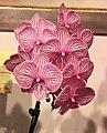 蝴蝶蘭 Phalaenopsis Pinlong Cheris x (Leopard Prince x Lioulin Lady) -台南國際蘭展 Taiwan International Orchid Show- (39129453490).jpg