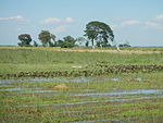 03326jfBirds Ducks Wetland Rice Fields Candaba Pampangafvf 13.JPG