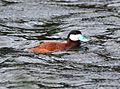 065 - RUDDY DUCK (6-8-13) 8500 ft, pine-oak, lake creek, 5 m east of hell's backbone, boulder mt, garfield co, ut -03 (9053288569).jpg