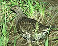 084 - DUSKY GROUSE (7-19-2014) 8000ft, west fork (san juan river) campground, mineral co, co -03 (14808973112).jpg