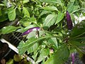 0998Ornamental plants in the Philippines 10.jpg