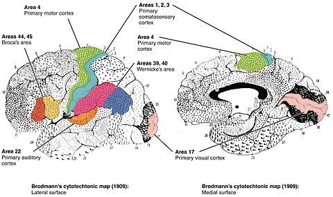 Brodmann area - Wikipedia