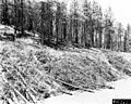 "1963. Ips oregoni. Ponderosa pine thinning slash from ""chipper-strip"" lying along roadside. This slash was subsequently run through a chipper. Near Calamity Butte, Burns Ranger District. Malheur National Forest. (38707541891).jpg"