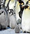 2007 Snow-Hill-Island Luyten-De-Hauwere-Emperor-Penguin-16.jpg
