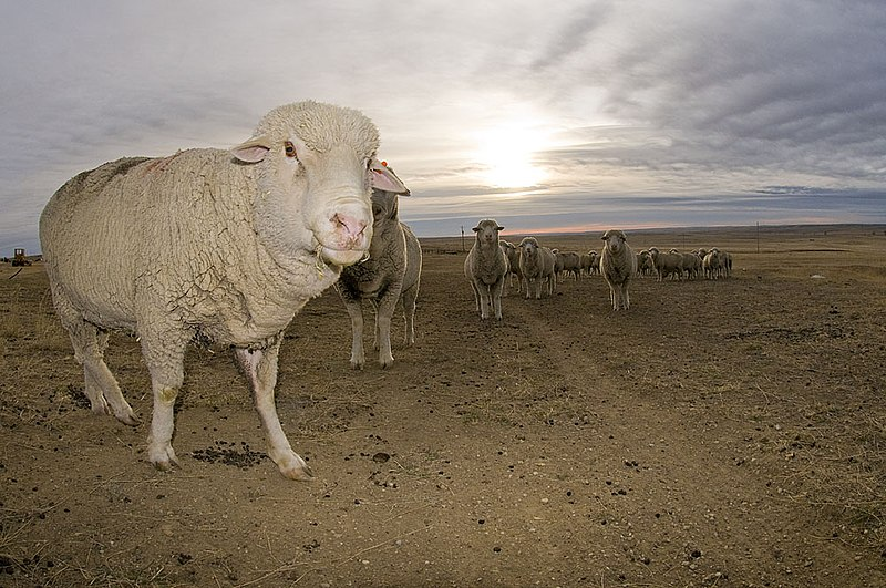 File:2009-Targhee-Sheep.jpg