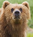 2010-kodiak-bear-1 (Head).jpg