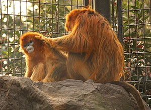 Golden snub-nosed monkey - Female and male in Shanghai Zoo