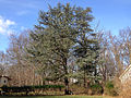 2014-12-30 13 36 34 Atlas Cedar on Bradway Avenue in Ewing, New Jersey.JPG