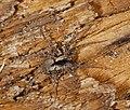 2014.09.20.-10-Kaefertaler Wald-Mannheim--Wolfspinne-Xerolycosa nemoralis-Weibchen.jpg