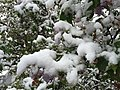 2015-05-07 07 17 29 New green leaves and flowers covered by a late spring wet snowfall on a Lilac on South 9th Street in Elko, Nevada.jpg