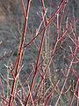 20150214Cornus sanguinea1.jpg