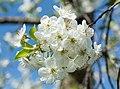 2015 Kwiatostan wiśni pospolitej.jpg