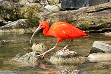 2016 Roter Ibis.JPG