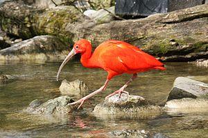 Scarlet ibis - Image: 2016 Roter Ibis