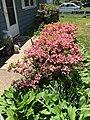 2017-05-14 12 22 05 'Rosebud' Azaleas blooming along Terrace Boulevard in Ewing Township, Mercer County, New Jersey.jpg