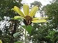 20170919Helianthus tuberosus1.jpg