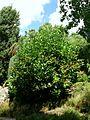 2874-Viburnum sieboldii-Arb.Brno-8.12.JPG