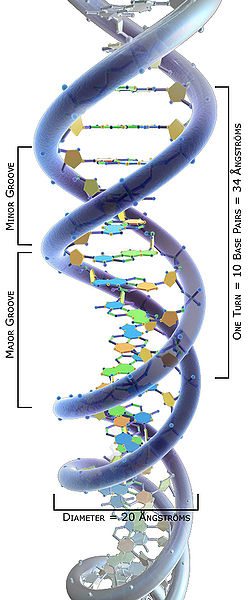 File:3DScience DNA structure labeled Angstroms.jpg