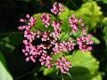 5723 - Schynige Platte - Flowers.JPG