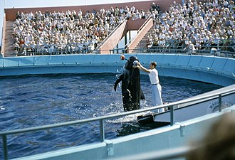 Marineland of the Pacific - Bubbles the Pilot Whale, performing, August, 1962