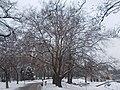 A 150 éves platán a George Washington sétány mentén, 2018 Városliget.jpg