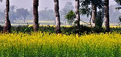 A Canvas- Mustard field and Date Trees (11923934543).jpg