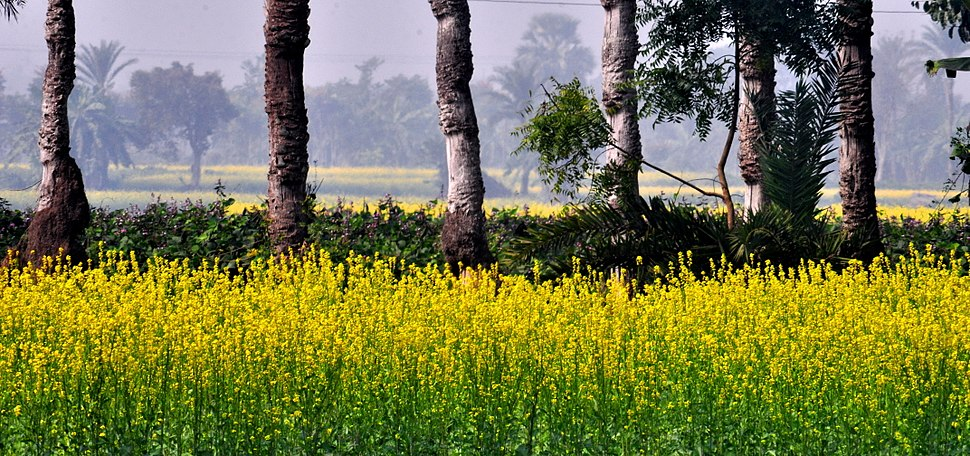 A Canvas- Mustard field and Date Trees (11923934543)