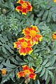 A Collection of Flowers from Ooty014.jpg