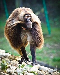 A Baboons But Gelada – Wikipedia