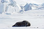 A Weddell Seal Basks in the sun as it Lays on the ice Outside Scott Base, the New Zealand Research Station (30840563011).jpg