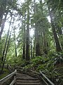 A Winding Path Through Muir Woods.JPG
