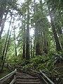 A Winding Path Through Muir Woods.JPG