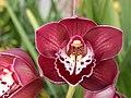 A and B Larsen orchids - Cymbidium Valley Regent Reggae DSCN4674.JPG