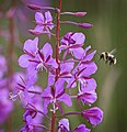A bee prepares to land on fireweed in Sable Pass in Denali National Park and Preserve on July 21, 2019. (4d627cd5-f313-4475-b7bc-ee44f7863649).JPG