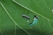 A caterpillar of Tirumala limniace (Cramer, 1775) – Blue Tiger found in the backside of the Wattakaka volubilis leaf WLB DSC 0257.jpg