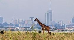 A giraffe with a beautiful background of Nairobi City Skyline.jpg