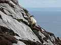 A goat confidently traversing the frighteningly steep granite rocks near Gannet's Bay. - geograph.org.uk - 935740.jpg