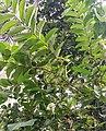 A guava tree at Kalyalpara, Jagadishpur Hat, Howrah.jpg