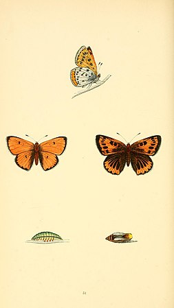 A history of British butterflies BHL14821333.jpg