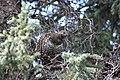 A spruce grouse in a spruce tree (de5dcc95-6649-411a-b27d-9aa1267f13d5).jpg