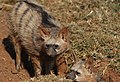 Aardwolf, Proteles cristata, at Lion and Rhino Reserve, Gauteng, South Africa (47987271071).jpg