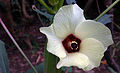 Abelmoschus esculentus Flower.jpg