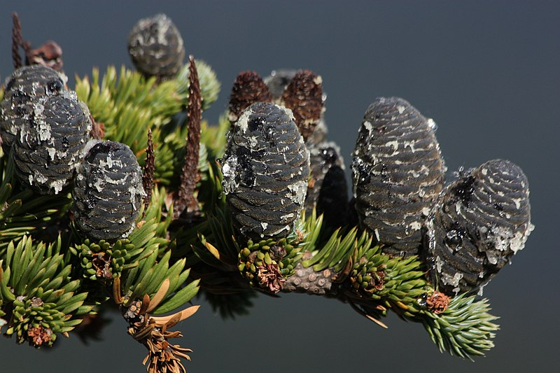 File:Abies lasiocarpa 6972.JPG