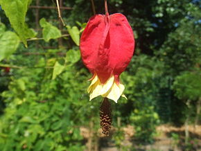 Description de l'image Abutilon megapotamicum11.jpg.